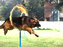 dog in hoop
