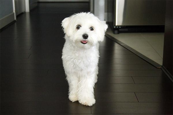 Abby_maltese_puppy_1