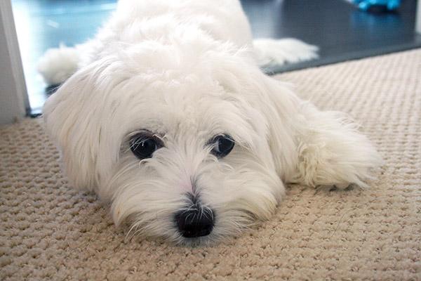 Abby_maltese_puppy_2