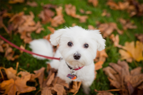 My sweet Maltese Abby. Photo Credit Sakura Photography